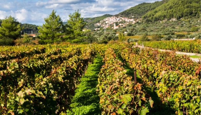 Croatian Vineyard, Cruise Croatia