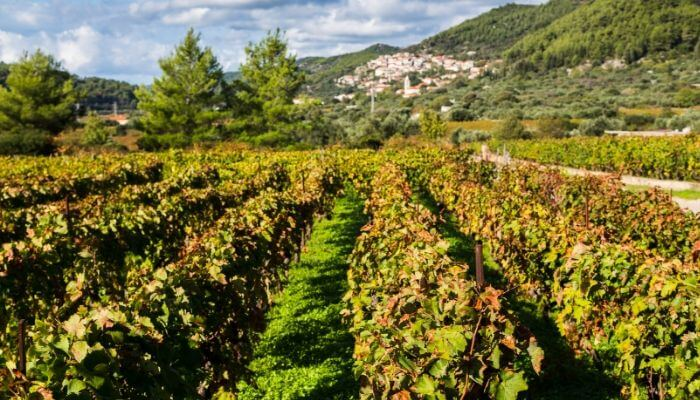 Korcula Vineyard, Cruise Croatia