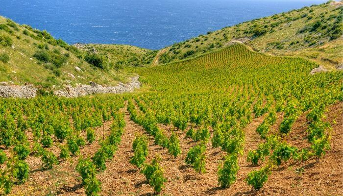 Hvar Vineyard, Cruise Croatia