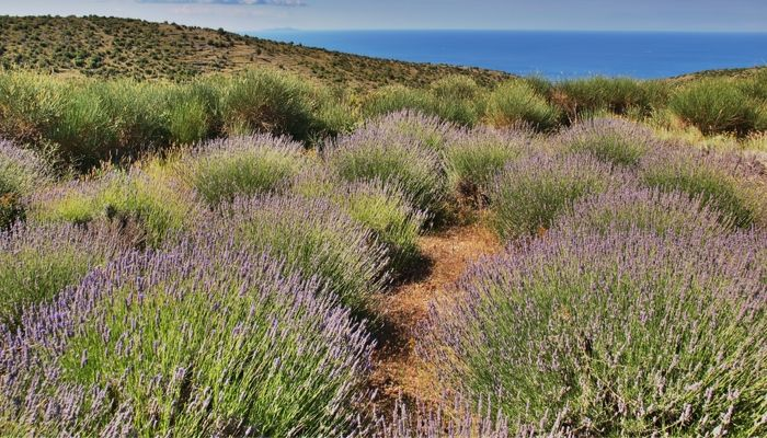 HVar, Lavender fields, Croatia, Unforgettable Croatia
