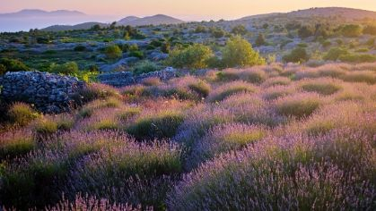 Cycle through Hvar lavender fields