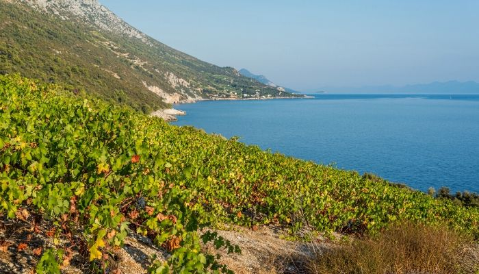 Peljesac Vineyard