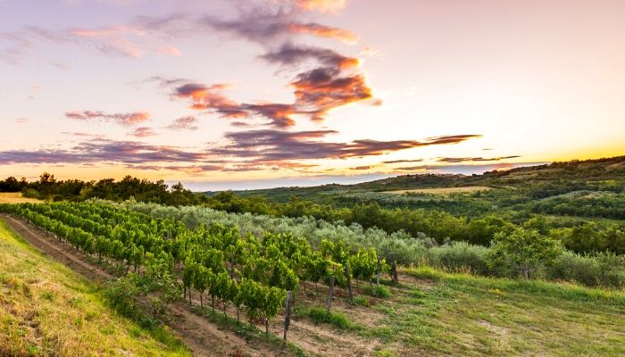 Vineyard in Istria