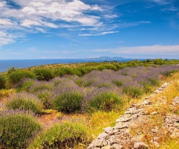 Hvar Lavender plants