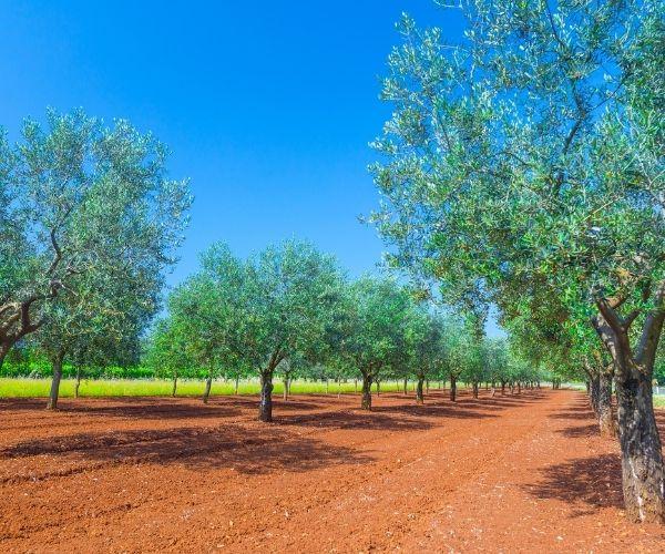 Olive Farm Rovinj