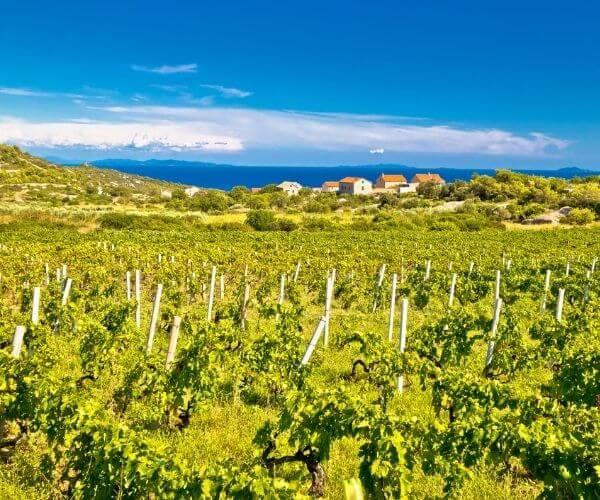 Vineyard in Vis