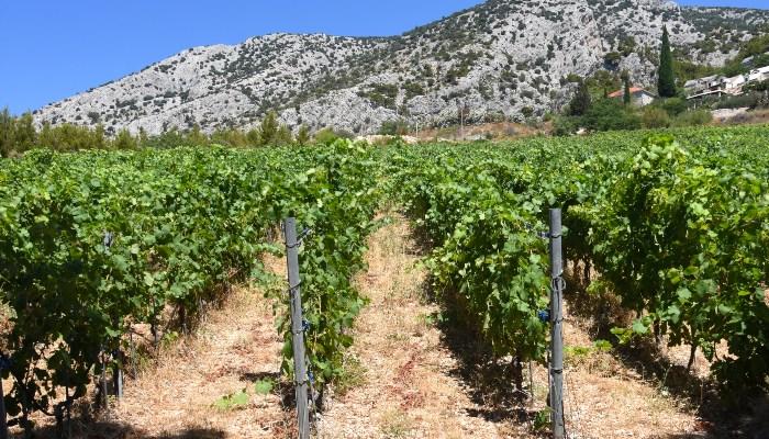 Vineyard, Istria